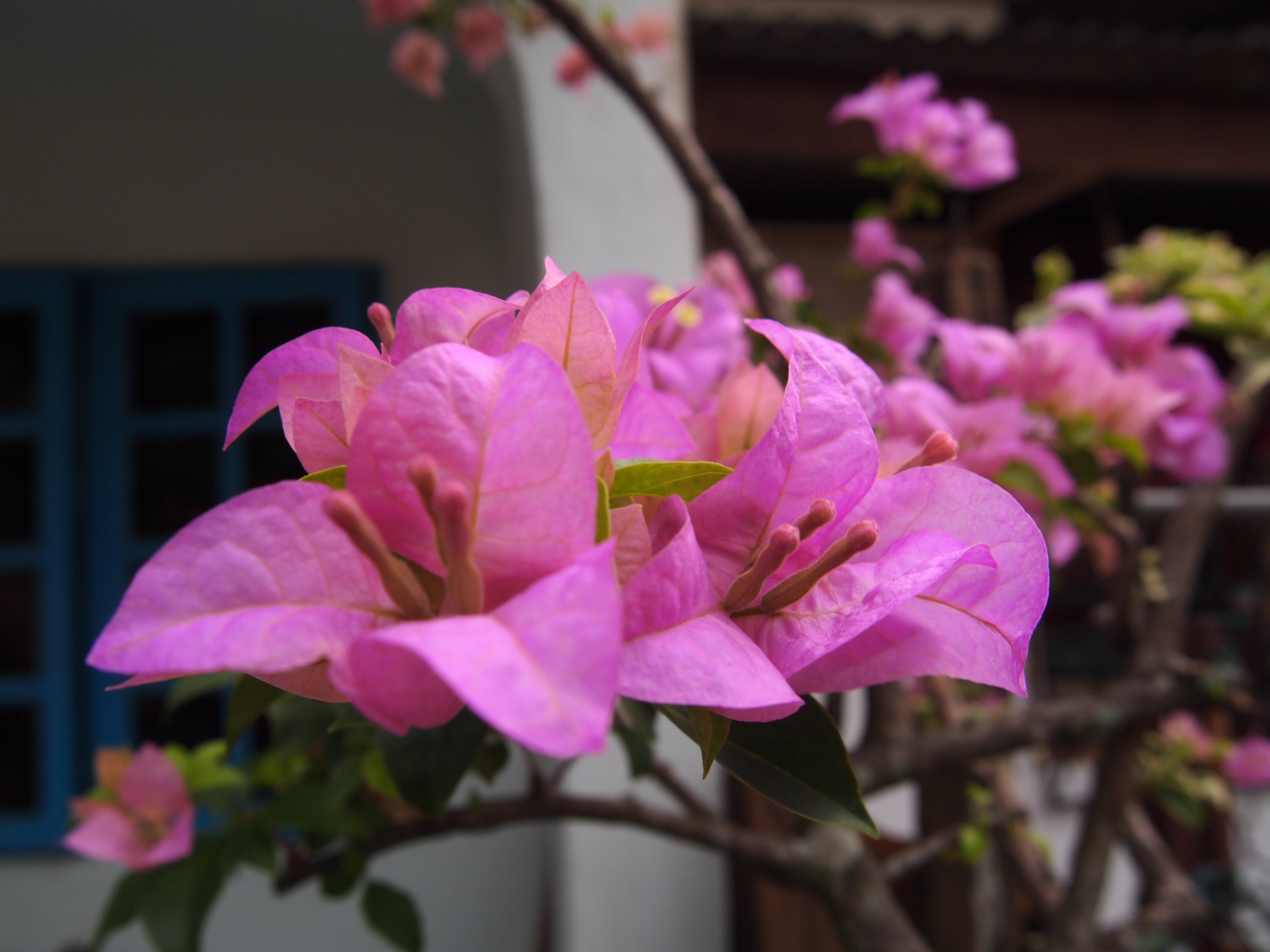 File Bunga Kertas Pink Jpg Wikimedia Commons