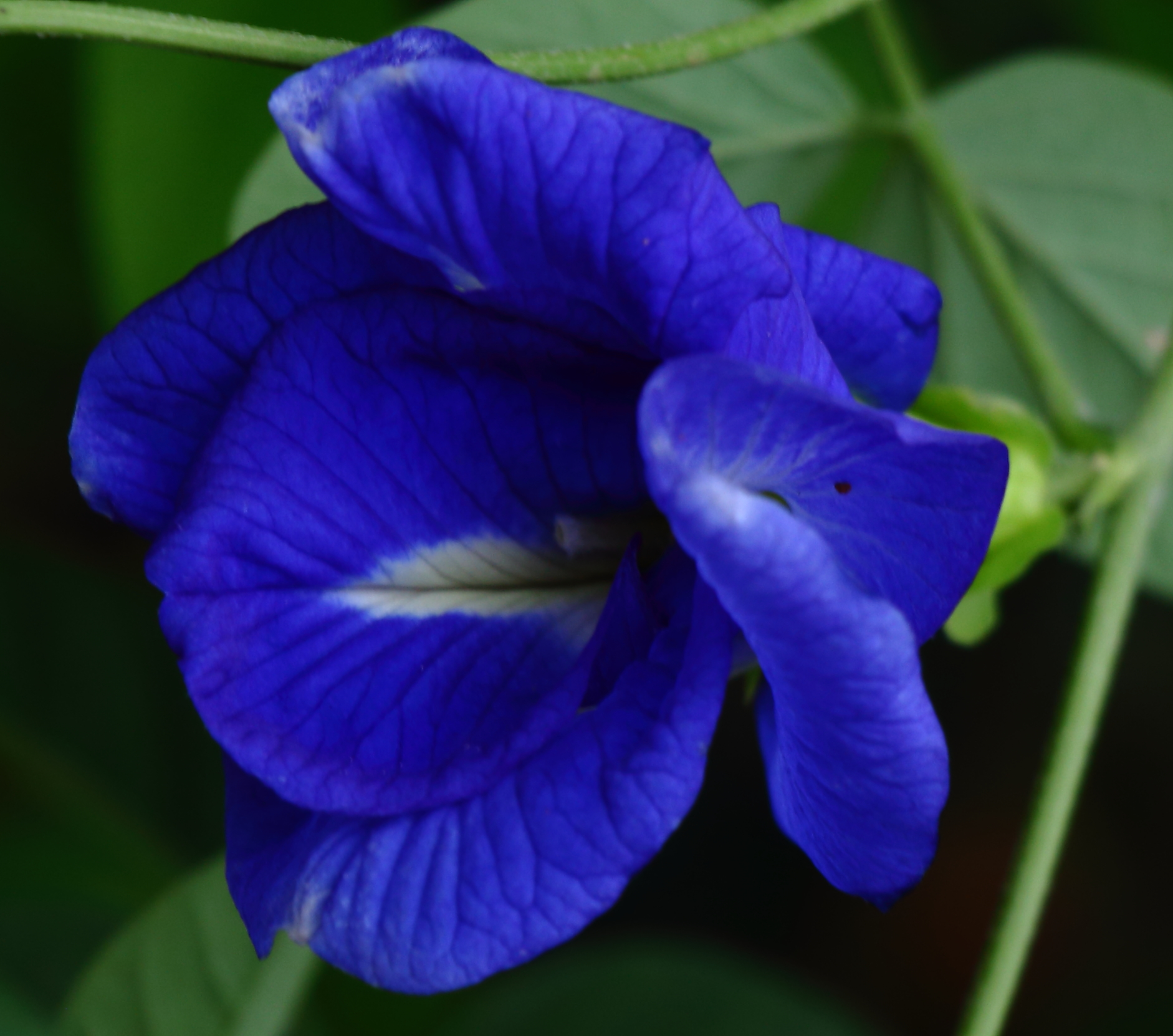 20 Seeds Clitoria ternatea Double Blue Flowering Butterfly Pea Vine
