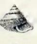 Callumbonella suturalis 001.jpg