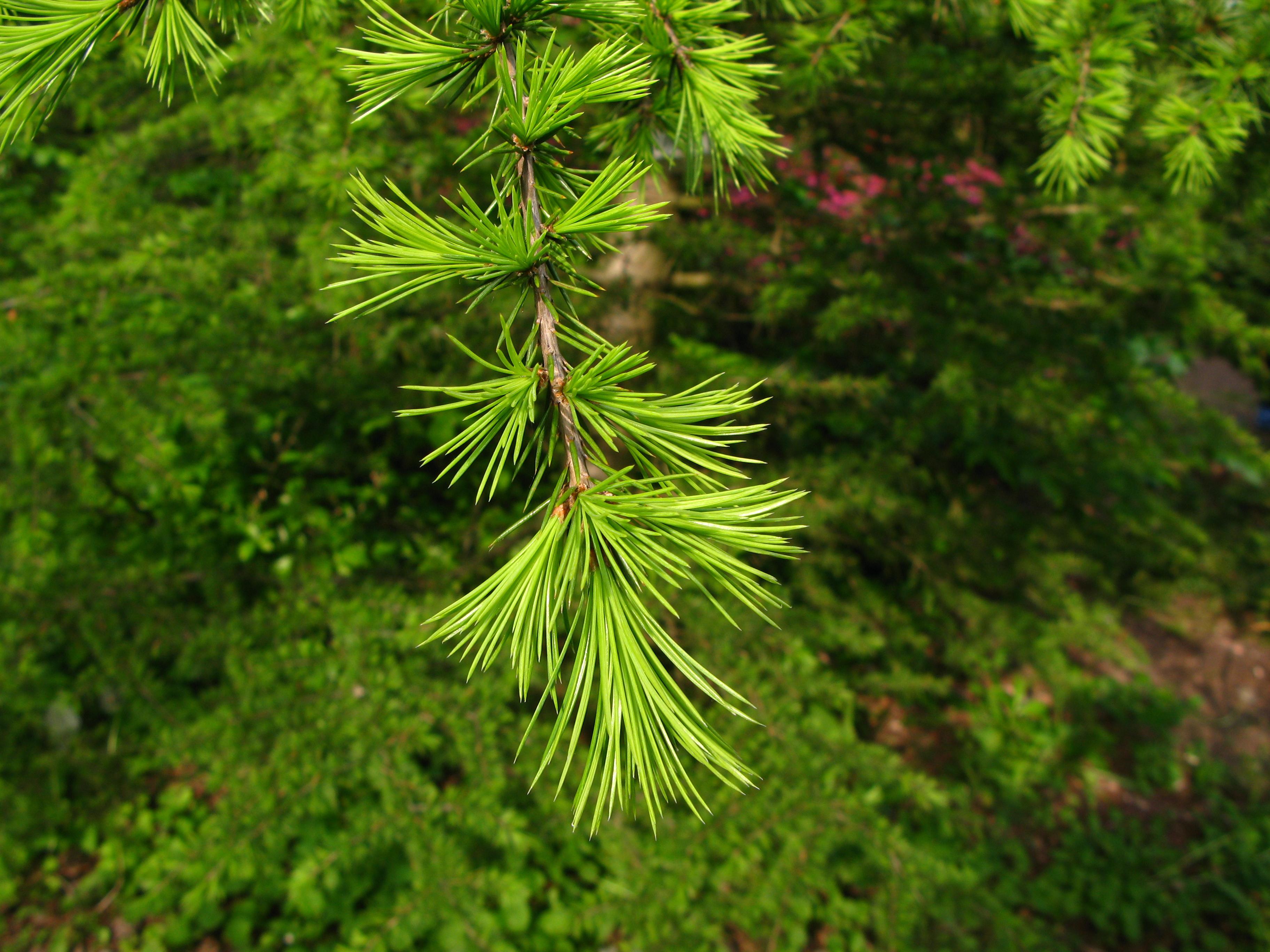 description cedrus libani foliage pan jpg