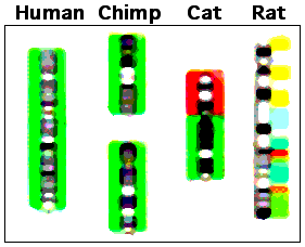 Chimp-human chromosome differences. The major structural difference is that human chromosome 2 (green color code) was derived from two smaller chromosomes that are found in other great apes (now called 2A and 2B [1]). Parts of human chromosome 2 are scattered among parts of several cat and rat chromosomes in these species that are more distantly related to humans (more ancient common ancestors; about 85 million years since the human/rodent common ancestor [2]
