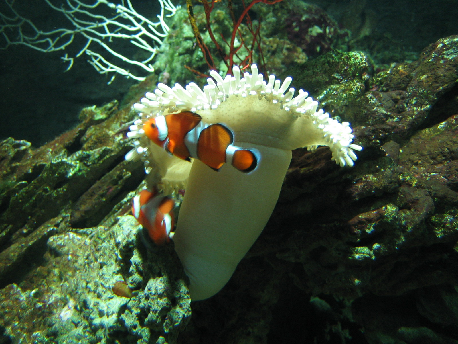 File clown for Clown fish habitat