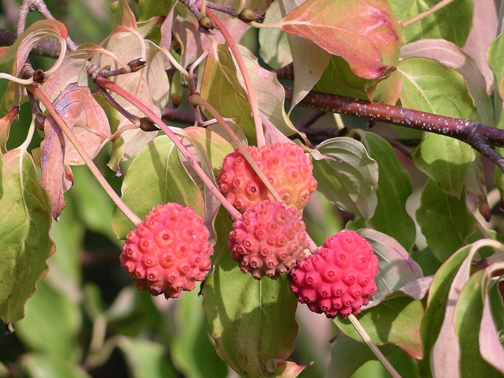 kousa dogwood fruit fruit list