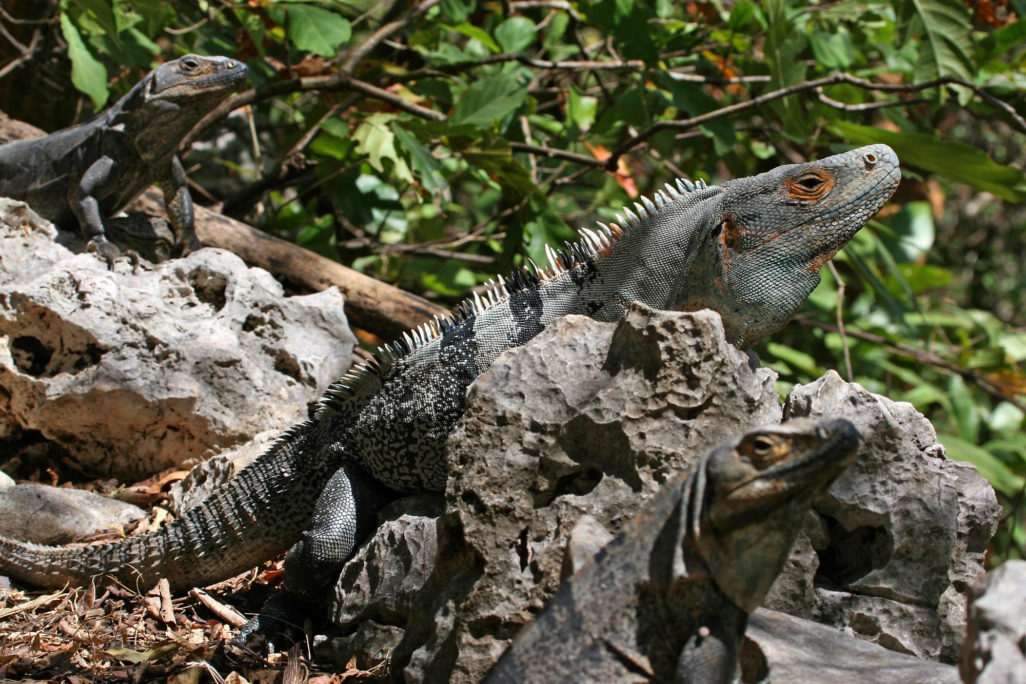 así es costa rica that u0027s costa rica big lizards in my backyard