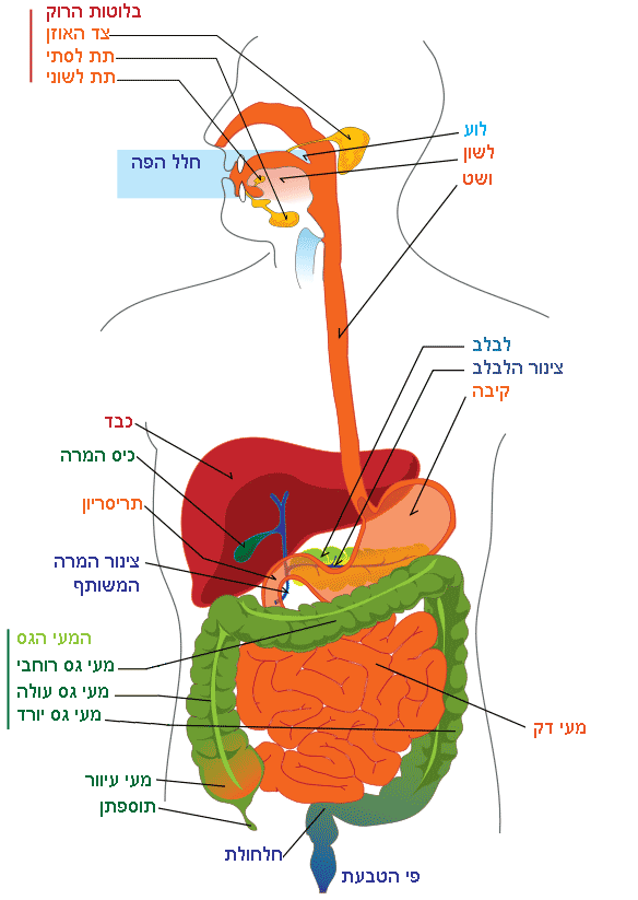 Digestive system diagram.png