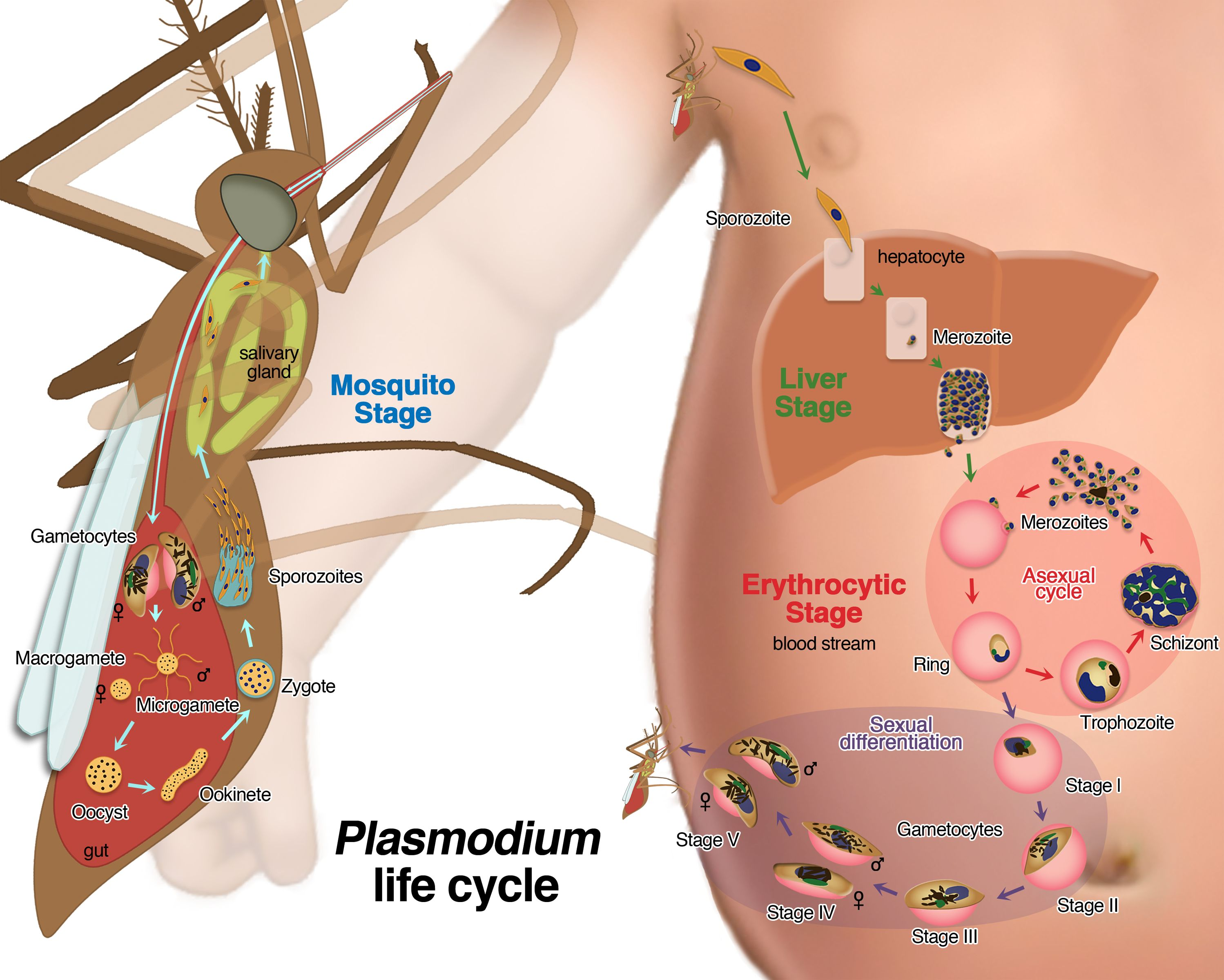 external image Falciparum-life-cycle-final.jpg