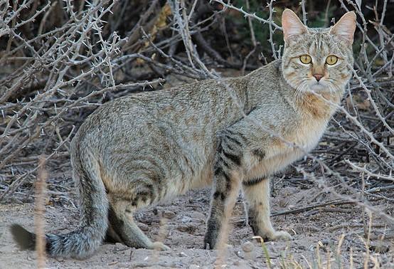 Resultado de imagen de african wildcat