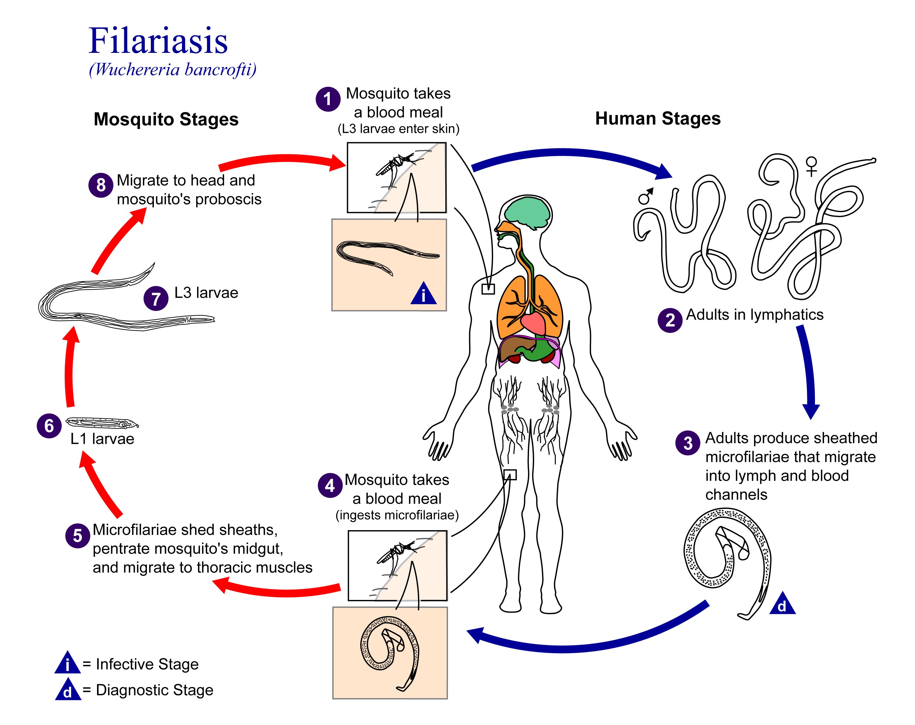 Life Cycle of Lymphatic Filariasis