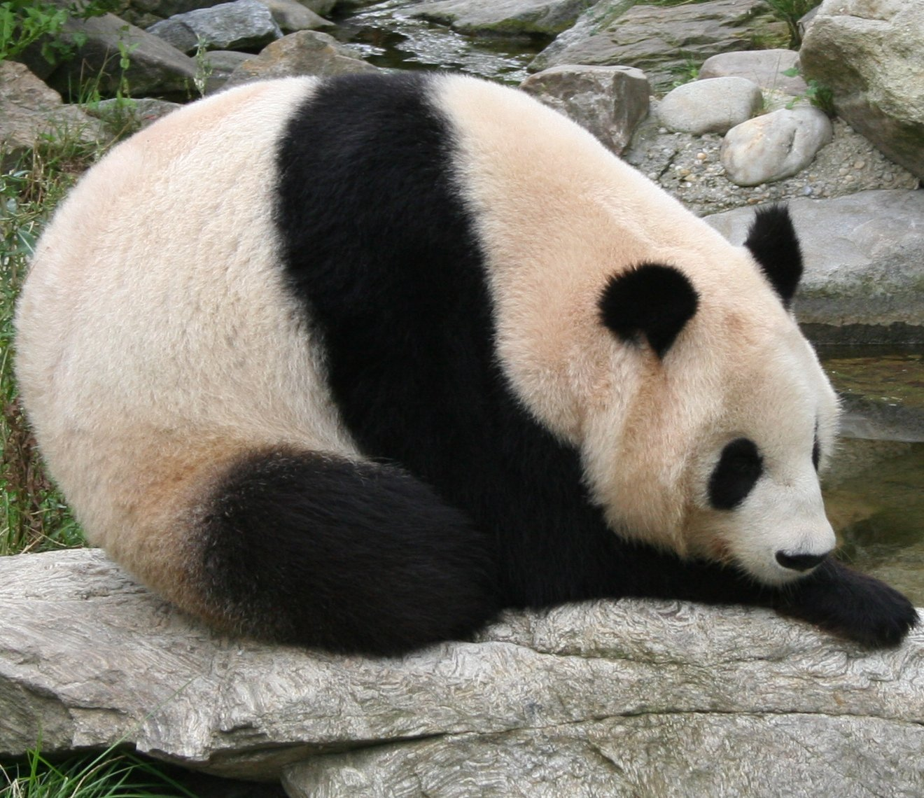 File:Giant panda at Vienna Zoo (cropped).jpg