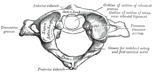 "Structure of the ""Atlas', the first cervical vertebra."