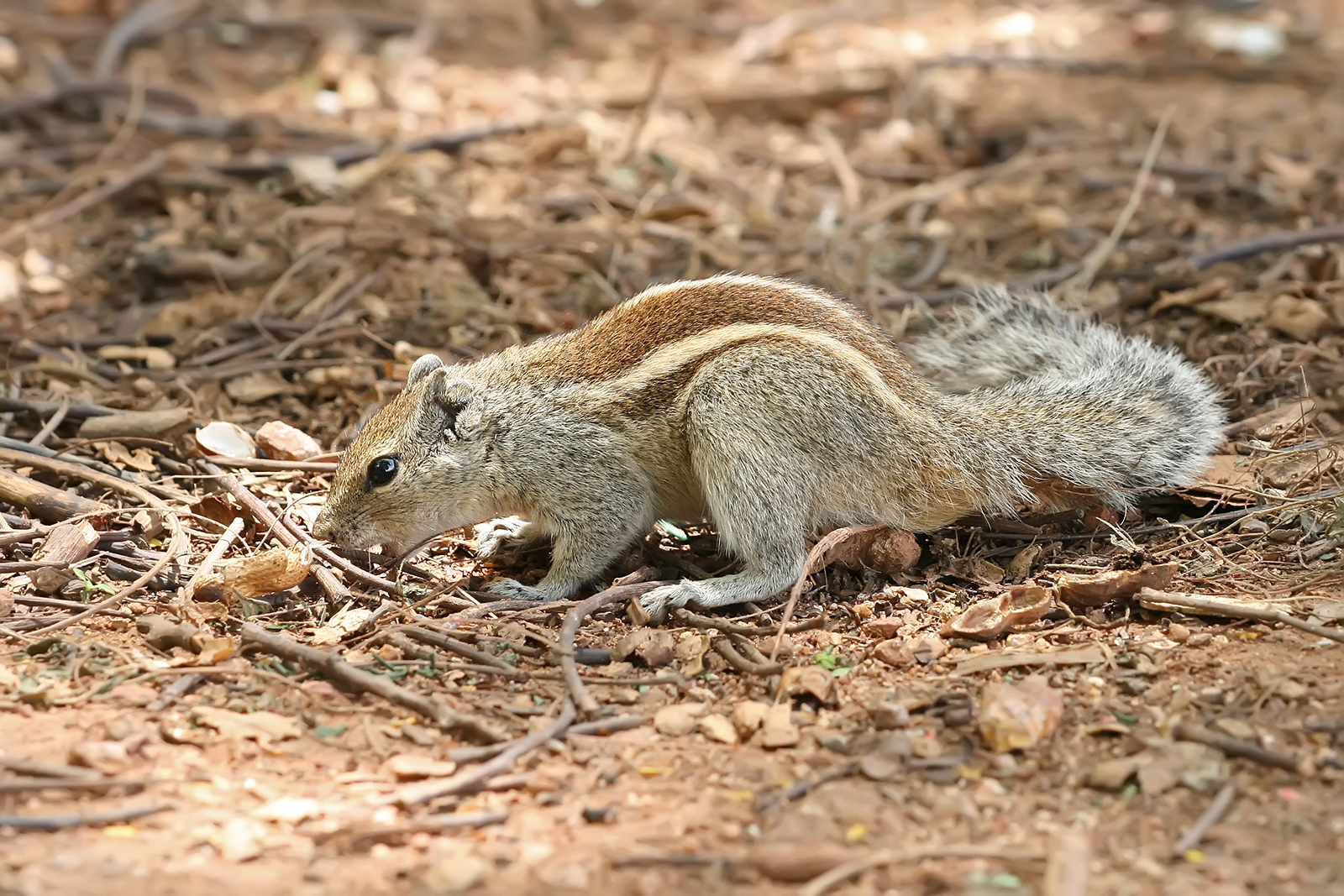 Indian Palm Squirrel Funambulus Palmarum