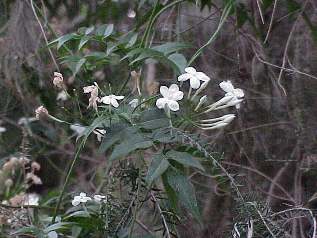 Fichier:Jasminum polyanthum0.jpg