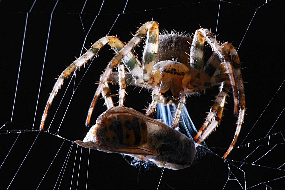 Križiak obyčajný - detailný pohľad na vylučovanie pavučín zo snovacích bradavíc a obaľovanie koristi do pavučiny