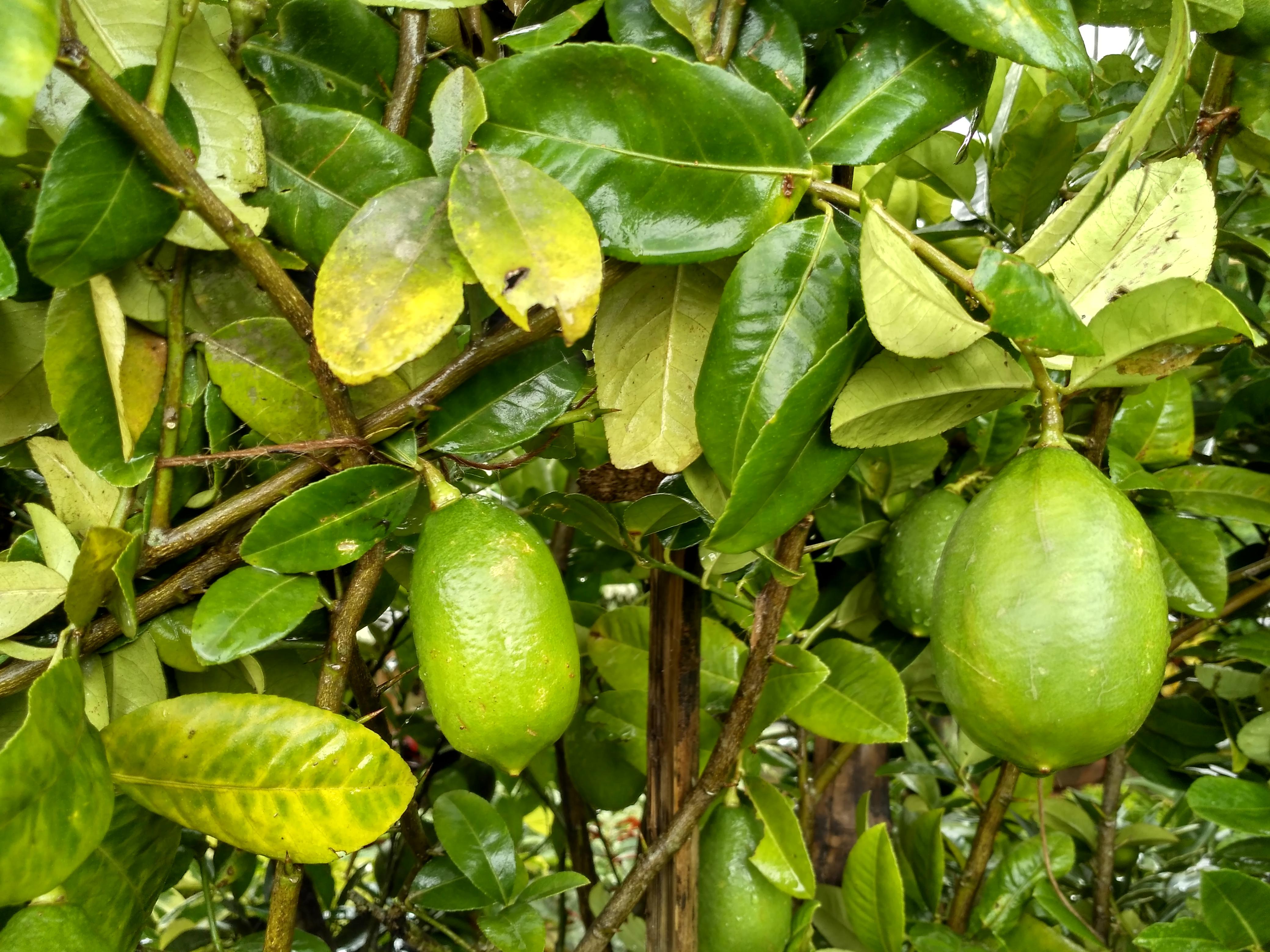 Bangladeshi Lemon Plant