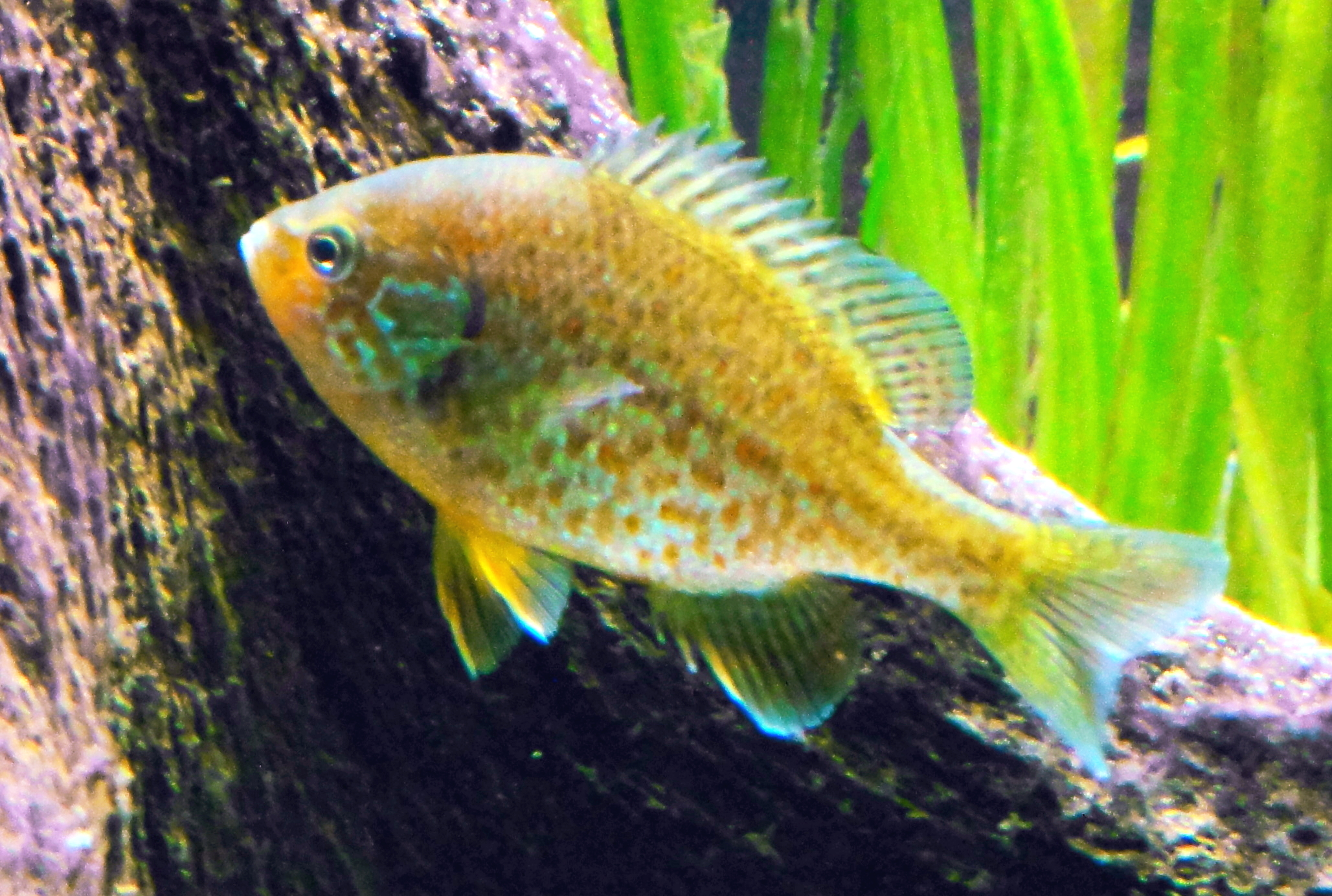 File lepomis gibbosus zoo wikimedia commons for Acuarios ornamentales