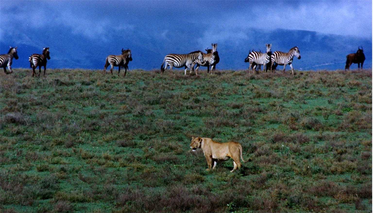File:Lioness zebras an...