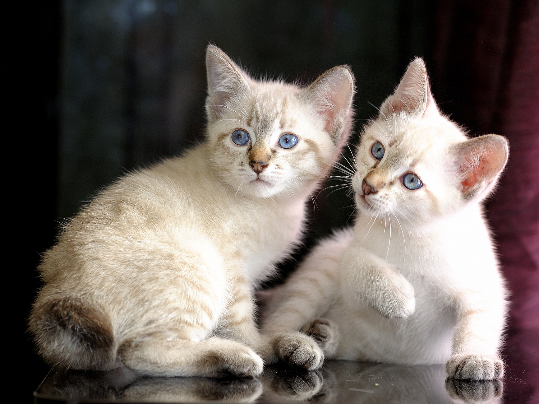 File Mekong bobtail kittens tabby point Wikimedia mons