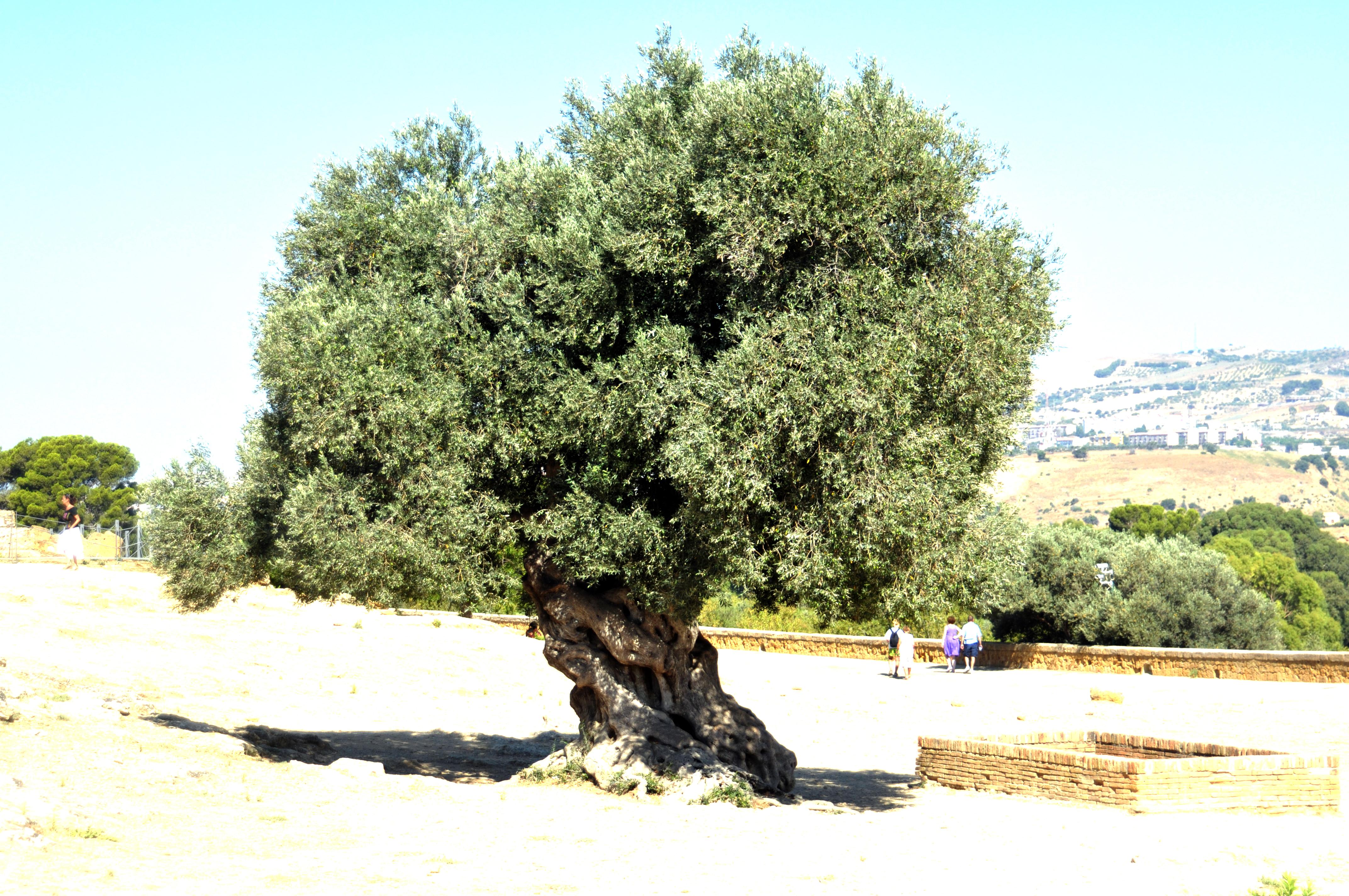 28 olive tree olive trees unrelatedtolife olive trees in olive tree file olive tree valley of the temples agrigento sicily italy