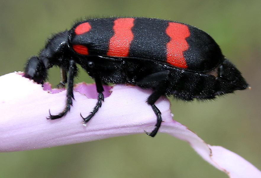 Hycleus sp. (Meloidae) feeding on the petals of Ipomoea carnea