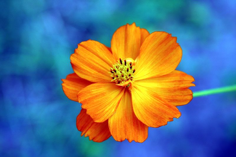 File Orange Flower Of Georgia Jpg