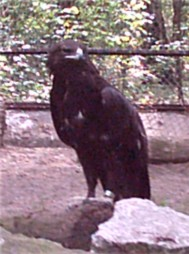 Burung Rajawali Totol Richmountain Indonesia Blog