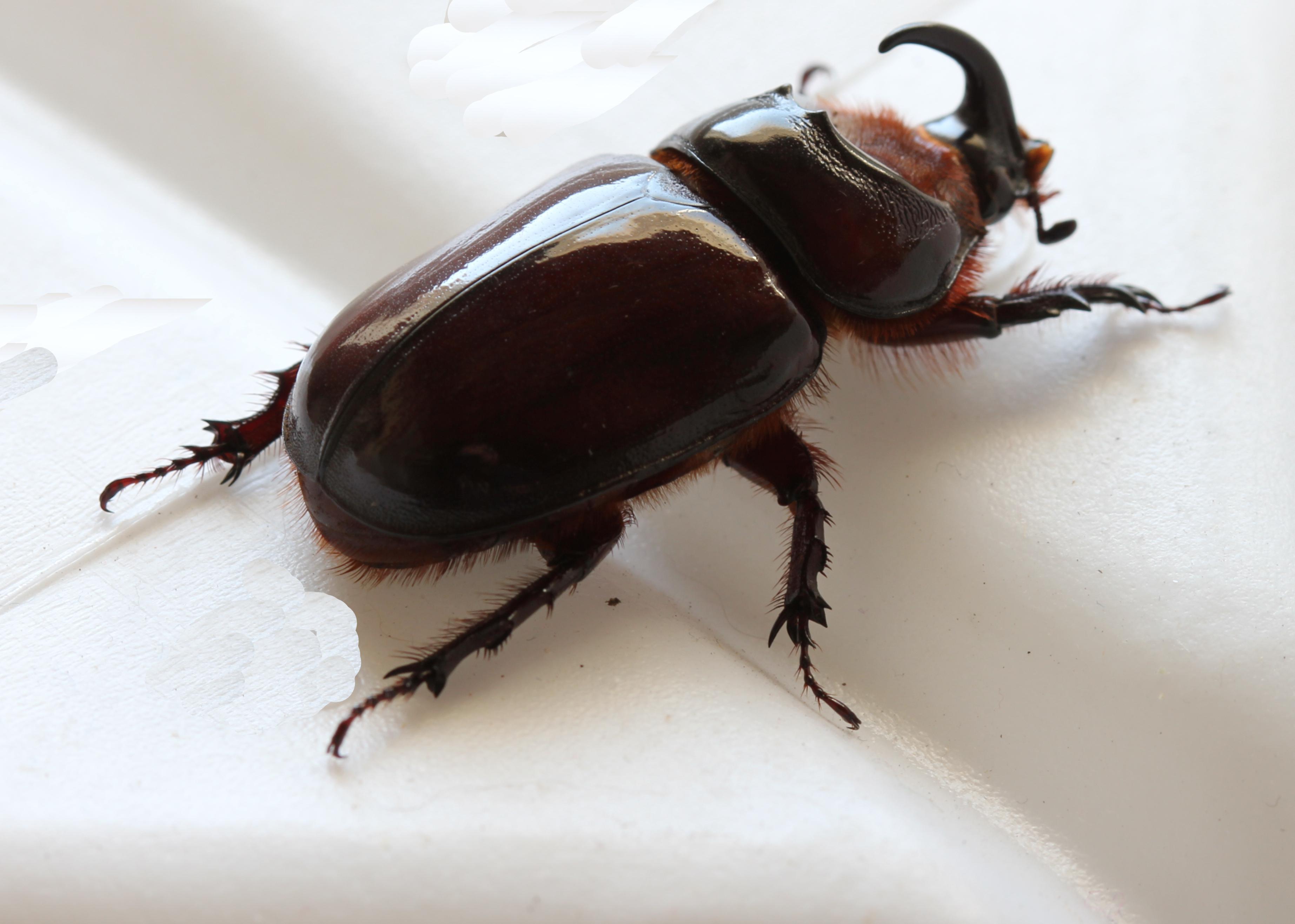 file oryctes species rhinoceros beetle male scarabaeidae eos 045c