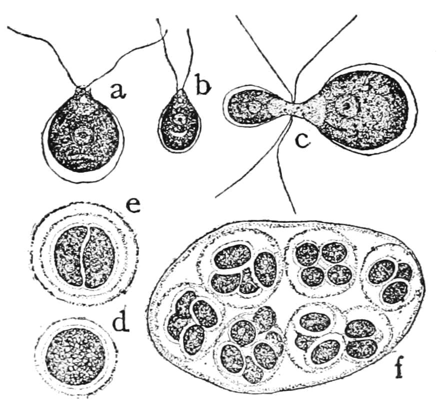 Origin of sex in algae