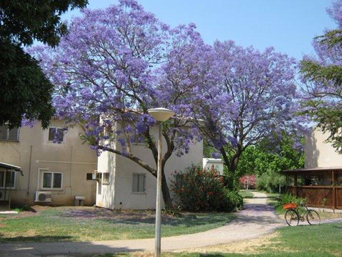 עץ הסיגלון