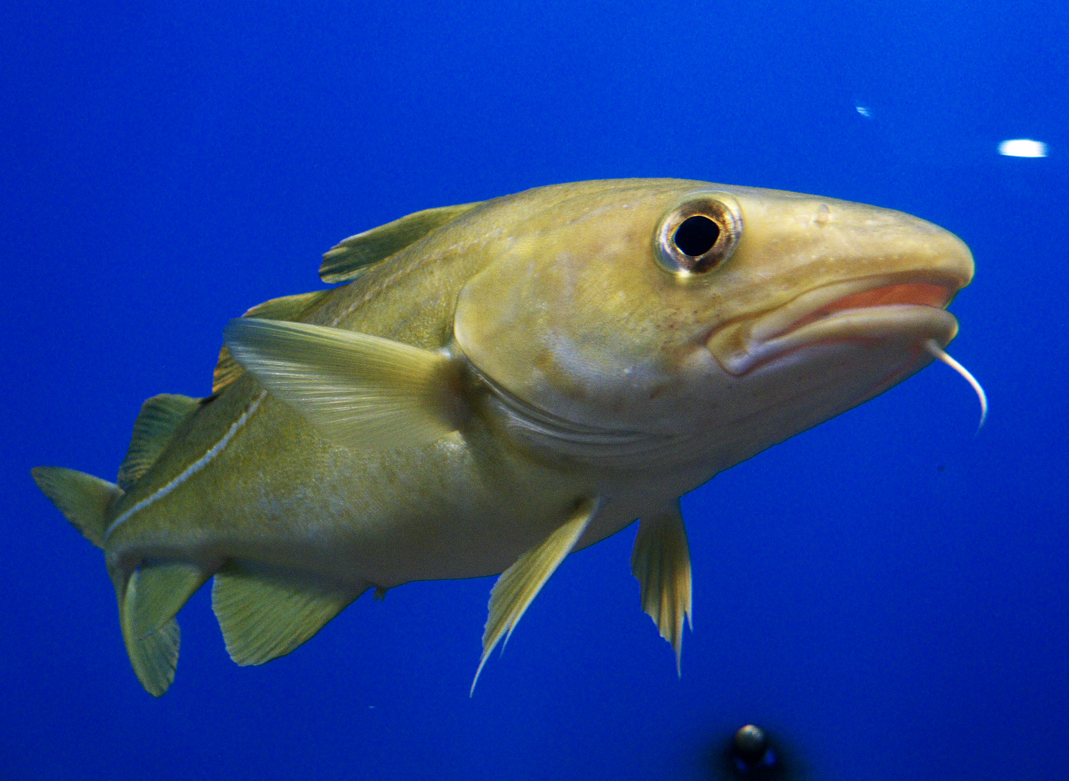 cod fish Cod are saltwater fish that live best in deep, arctic- temperature water in order to grow, reproduce, and survive it does not seem happenstance that.