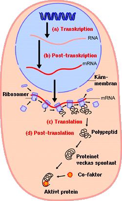 förklara cellens ämnesomsättning