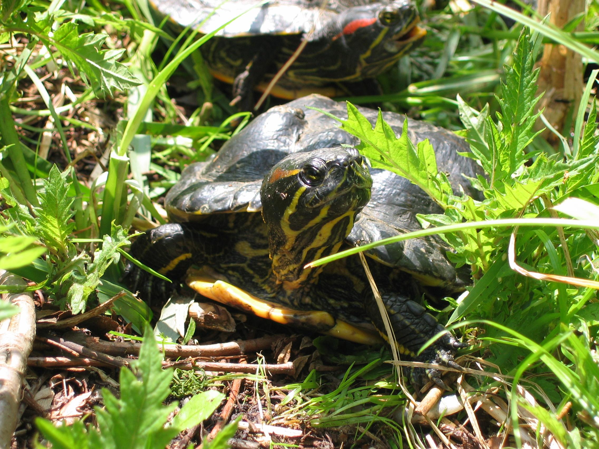 Poisson Rouge Bassin Extérieur tortue de floride — wikipédia