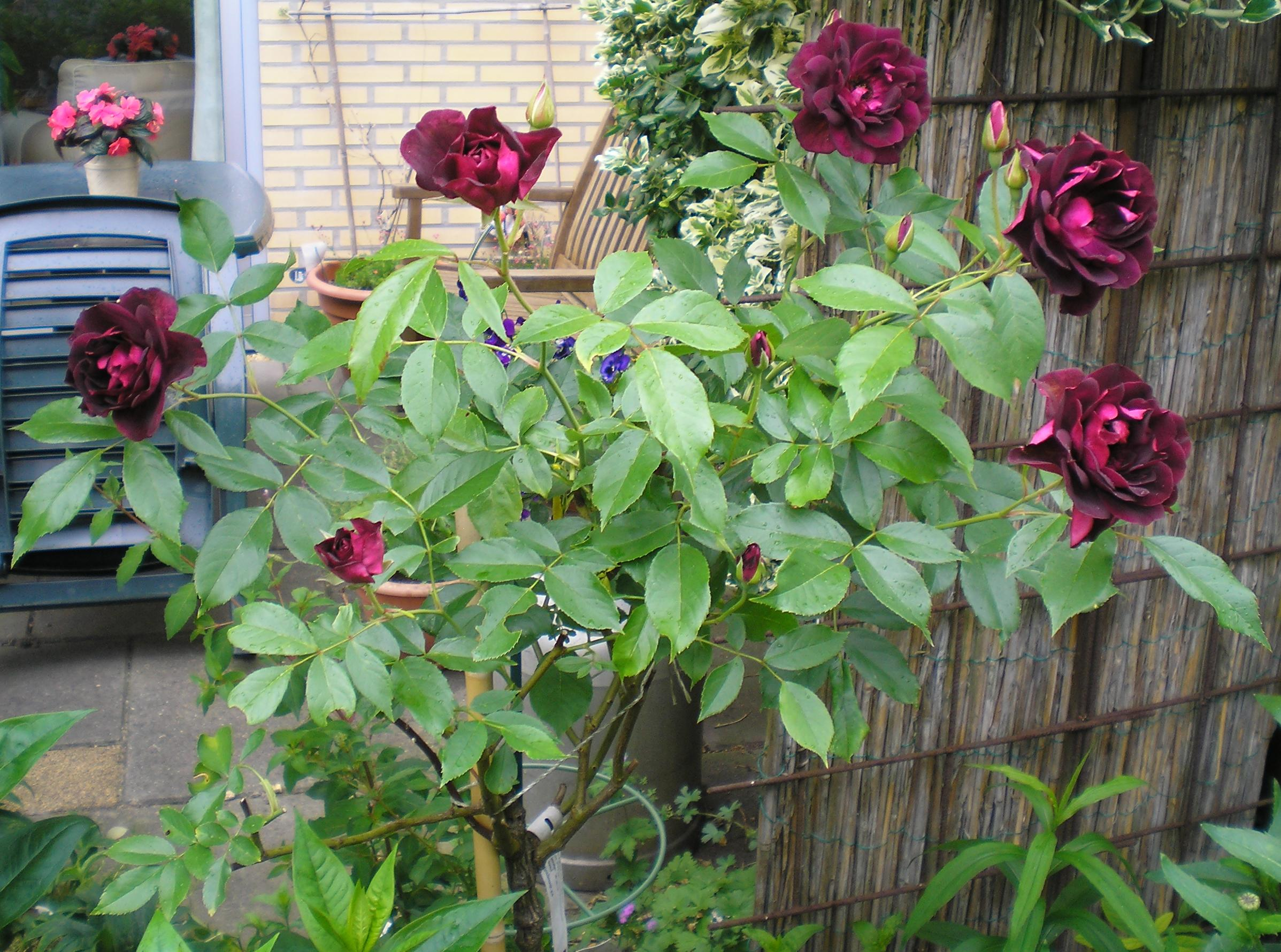 Picture of Live Rose (burgundy) aka Rosa x 'Burgundy Iceberg' Plant Fit 5 Gallon Pot