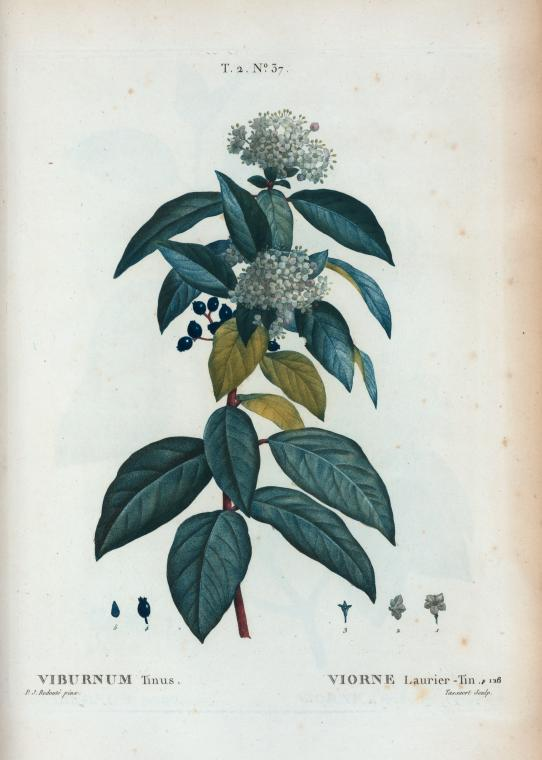 Depiction of Viburnum tinus
