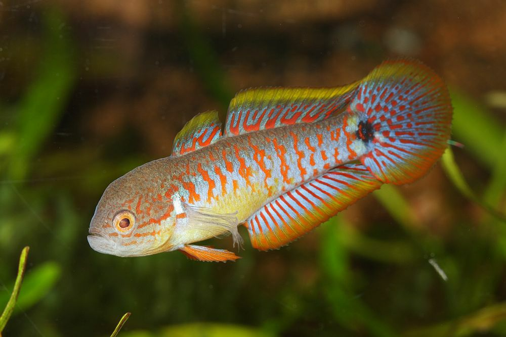 Peacock gudgeon wikipedia for Freshwater goby fish