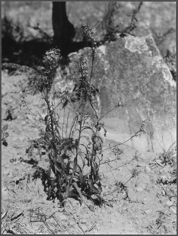 Filethe Cardinal Flower Or The Splendid Lobelia Lobelia Slendeus