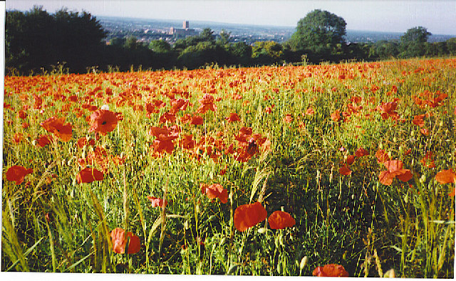Wild Poppies Blooming on Guildown. - geograph.org.uk - 111374
