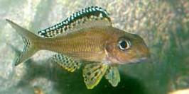 <i>Xenotilapia</i> genus of fishes
