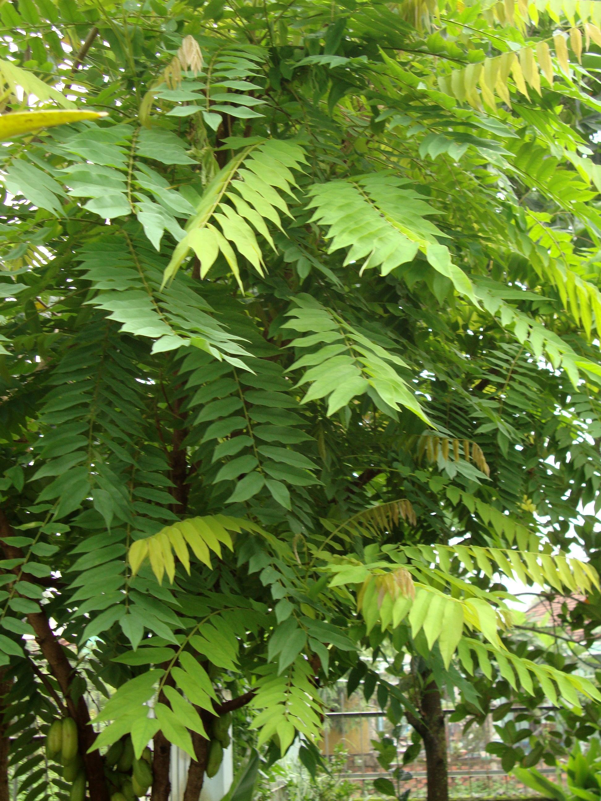 rare 4 graines arbre a cornichons averrhoa bilimbi g804 seeds samen semi semilla ebay. Black Bedroom Furniture Sets. Home Design Ideas