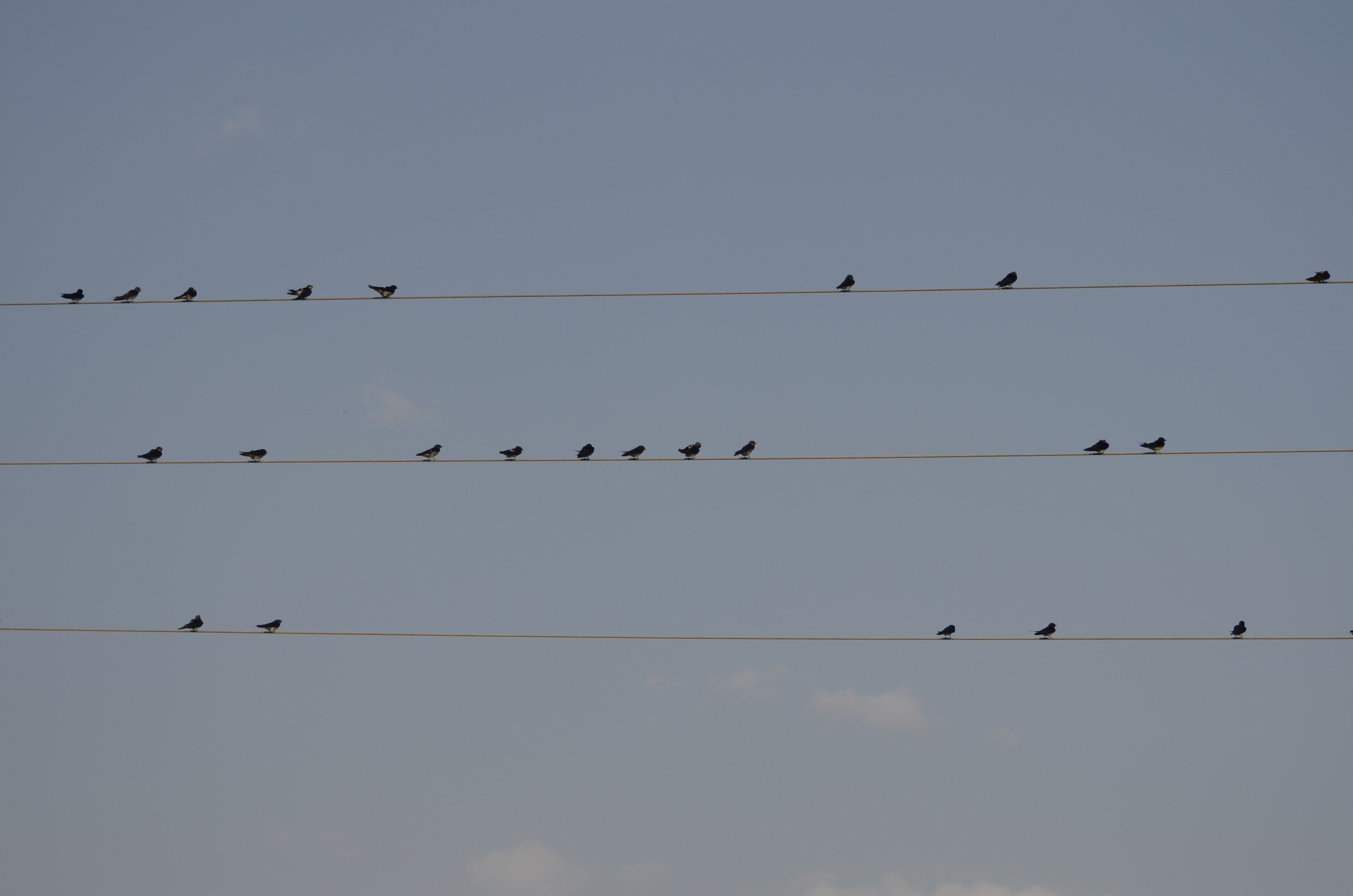 File:Barn swallow (Hirundo rustica)on the wire from kadapa andhra ...