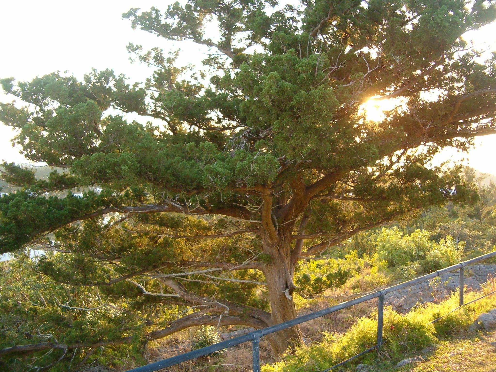 File Fort Commons bermuda Cedar At jpg Scaur Hill Wikimedia mn8ONy0vwP