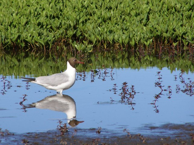Black-headed gull at Hatchet Pond, New Forest - geograph.org.uk - 190984