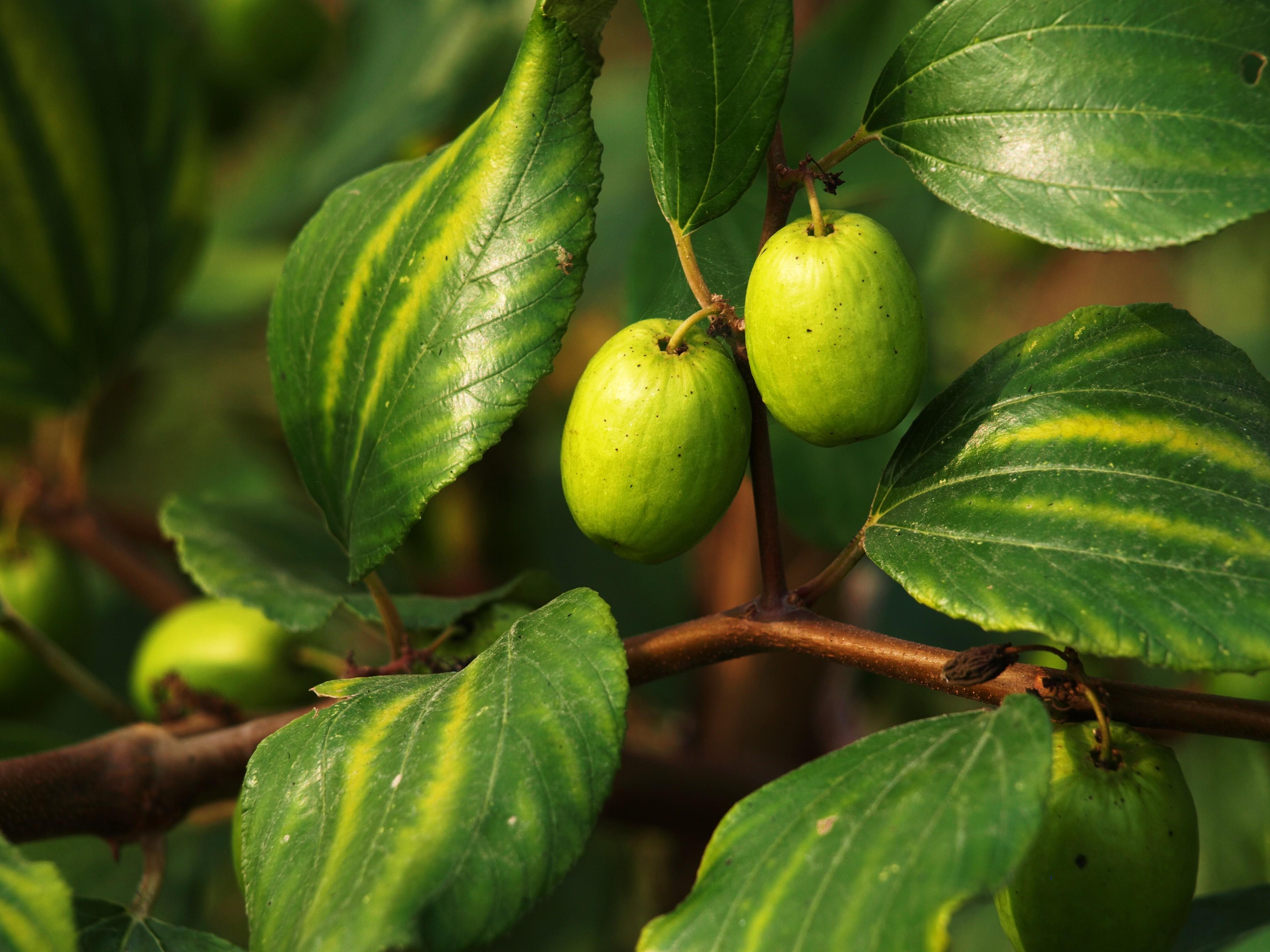 desktop bangladesh fruits pictures - photo #16