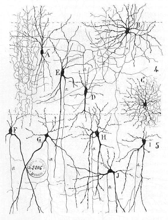https://upload.wikimedia.org/wikipedia/commons/1/1a/Cajal_actx_inter.jpg