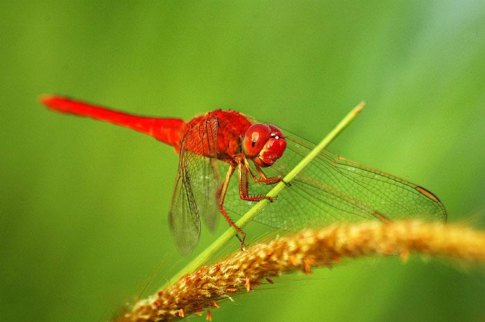 Gambar:Capung merah.jpg - Wikipedia