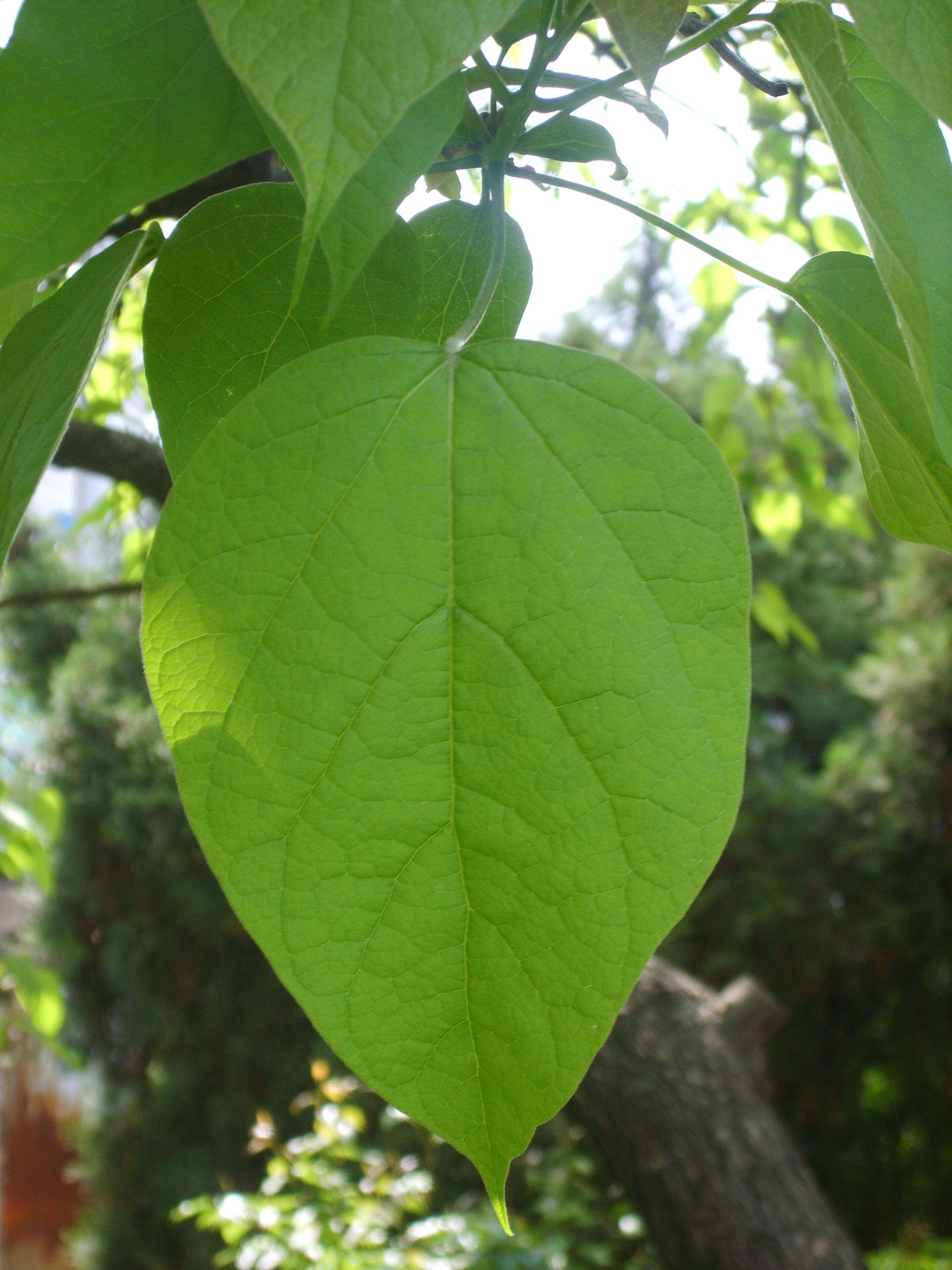 file catalpa bignonioides 39 s leaf in korea jpg wikimedia. Black Bedroom Furniture Sets. Home Design Ideas