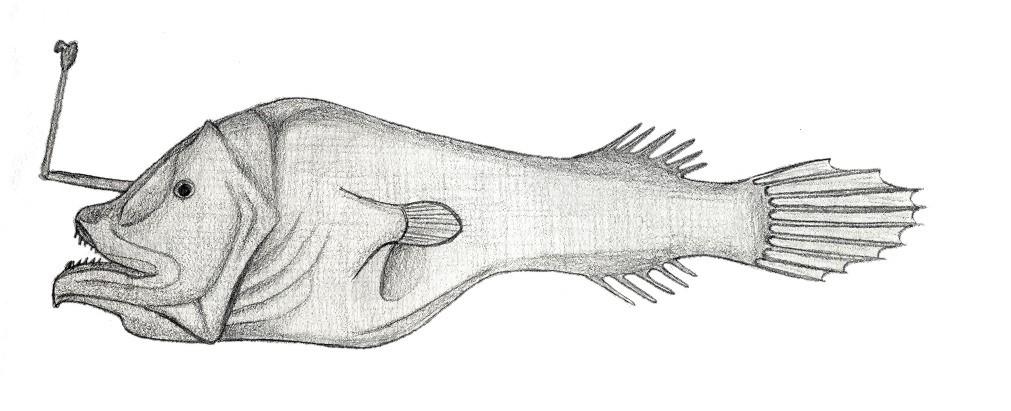 Centrophryne Spinulosa Wikipedia La Enciclopedia Libre