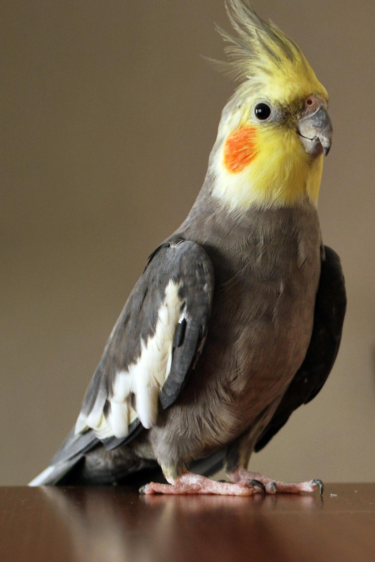 Nimfa (ptak) – Wikipedia, wolna encyklopedia