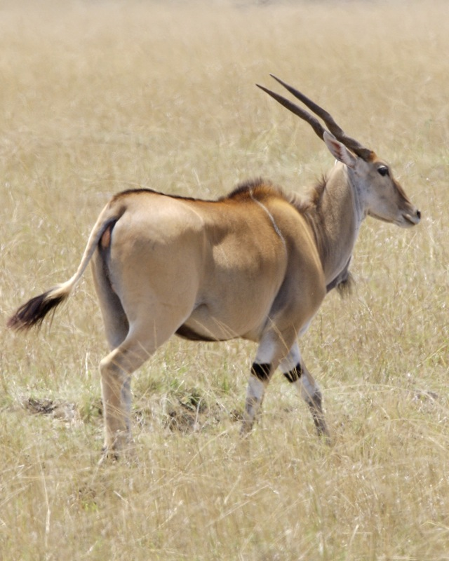 Image result for africa impala