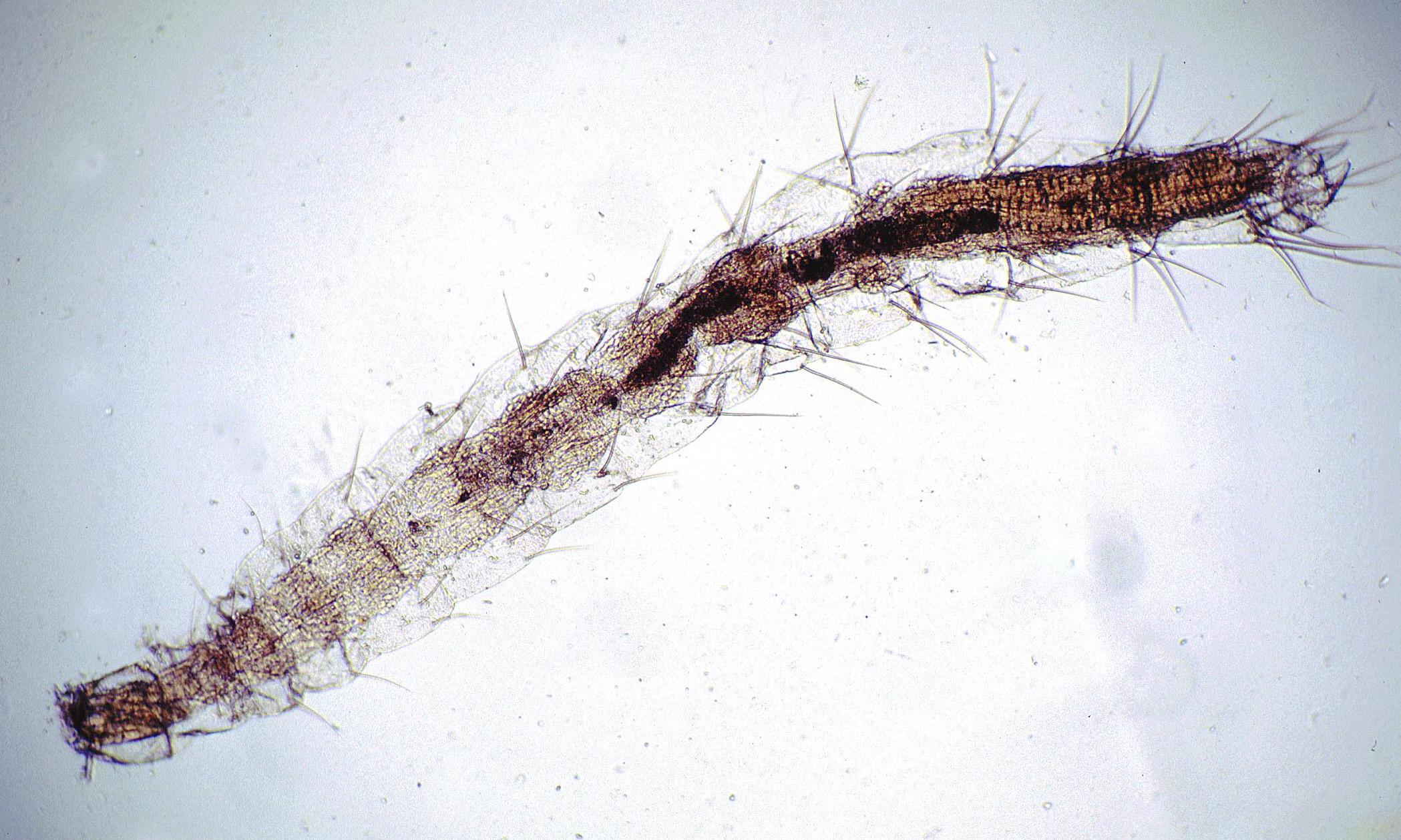 Flea Larvae On Dogs Ears