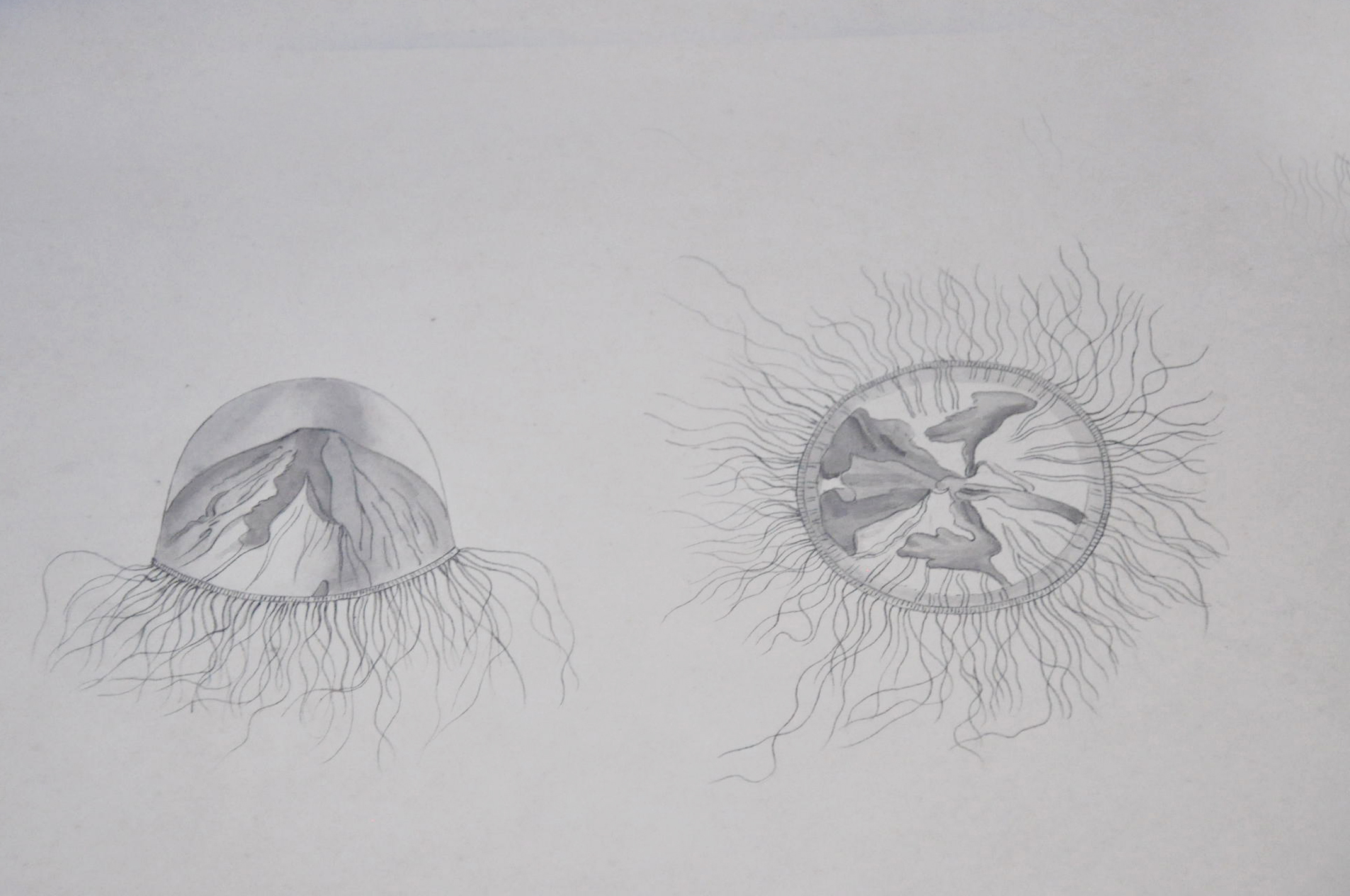 Line Drawing Jellyfish : File drawing of jellyfish by lesueur g wikimedia commons